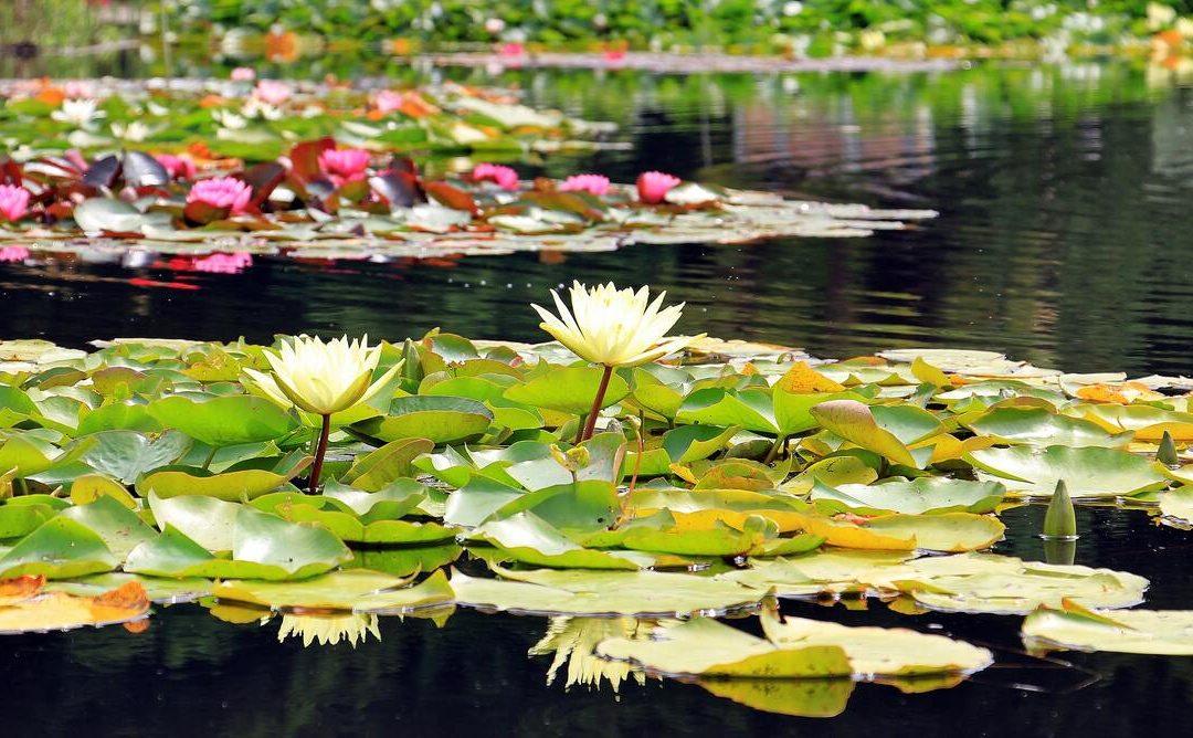 Les meilleures plantes pour un petit étang au jardin